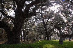 Majestic Oak Trees on St Simon Islands